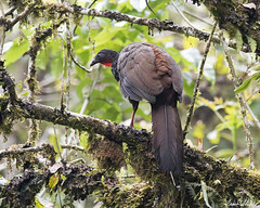 Cauca Guan (Penelope perspicax) (Frank Shufelt) Tags: caucaguan penelopeperspicax cracidae galliformes endemic endangered wildfowl fowl aves birds wildlife mountains forest andes humid otúnquimbaya risaralda colombia southamerica february2017 6867