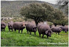 Cerdo ibérico (7bellotas) Tags: cerdoiberico jamon