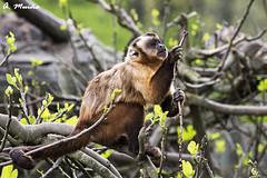Capuchin observing a branch. Capuchino observando una rama (A. Muiña) Tags: mono capuchino árbol animals animales color airelibre nikond800 naturaleza nature