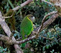 brehms tiger parrot at kumul lodge (Pete Read) Tags: brehms tiger parrot kumul lodge papau new guinea