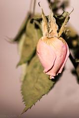 Dernière étape avant le bouquet (coralie le bian) Tags: last stage before bouquet dernière étape fleur flower