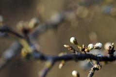 HBW! :) (Frau Koriander) Tags: hbw bokehwednesday happybokehwednesday bokeh dof zweige zweig äste ast tree treebranches baum strauch blüten knospen spring frühling nikond300s flora nature natur nikkor60mmf28 60mm darmstadt germany südhessen