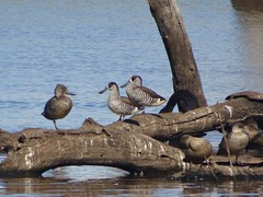Pink-Eared Ducks & Freckled Duck (RJNumbat) Tags: pinkeared freckled duck