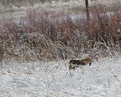 Coyote 7179 (frank.kocsis1) Tags: coyote cherrycreekstatepark coloradowildlife colorado frankkocsis seealbumformorephotos