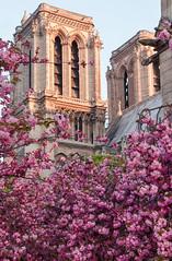 Spring charm 🌼 (David Khutsishvili) Tags: davitkhutsishvili dkhphoto paris france notredame cathedral cherry blossom tree nikon d5100 18105mm instagram 500px vertical flower charm spring city tower