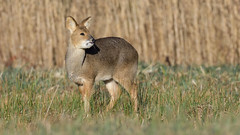 Chinese Water Deer (image 2 of 3) (Full Moon Images) Tags: woodwalton fen greatfen bcn wildlife trust nnr national nature reserve cambridgeshire animal mammal chinese water deer