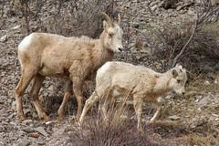 IMG_1194 Bighorn Sheep (cmsheehyjr) Tags: cmsheehy colemansheehy nature wildlife sheep bighornsheep nationalelkrefuge jackson wyoming ewe lamb millerbutte