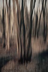 Forêt dénudée ... ( P-A) Tags: marais mclaurin gatineau forêt noyée inondée morte arbres troncs morne fantôme nature abstrait dénuée photos simpa©