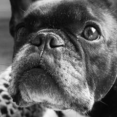 Head Shot (Lainey1) Tags: oz ozzy dog frenchie bulldog lainey1 elainedudzinski frogdog zendog frenchbulldog ozzythefrenchie leica leicadlux4 bw monochrome