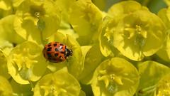 Schönes Wochenende  -   Happy weekend (karinrogmann) Tags: marienkäfer coccinella ladybug blüten gelb fiori gialli flowers yellow