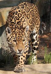 jaguar Rica artis BB2A7958 (j.a.kok) Tags: jaguar pantheraonca rica predator mammal zoogdier southamerica zuidamerika kat cat artis roofdier animal dier