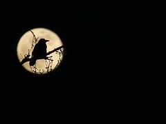 Carrion Crow (ukstormchaser (A.k.a The Bug Whisperer)) Tags: carrion crow crows uk bird birds animal animals wildlife milton keynes howe park wood tattenhoe april