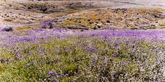 Purple Tansy (joe Lach) Tags: lacyphacelia purpletansy phaceliatanacetifolia californiapoppies poppyreserve flowers orange purple antelopevalley california vegetation hill mount mountain butte joelach