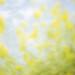 Canola Flower#2