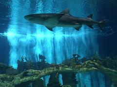 Lemon Shark (HockeyholicAZ) Tags: odysea aquarium captive husbandry animal fish aquatic zoo arizona usa america tribal income revenue tourist attraction desert scottsdale