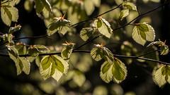 Im Buchenwald / In the beech forest (ludwigrudolf232) Tags: laub buchenblätter wald grün