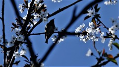 Through A Long And Sleepless Night (hope2029) Tags: spring blossom blueskies sunshine bird silhouette leeds liverpool canal sakura