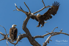 April 8, 2017 - A male Bald Eagle hops to join his mate in Longmont. (Tony's Takes)