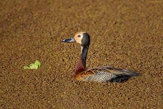 White-faced Whistling-Duck (Dendrocygna viduata)