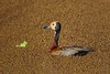 White-faced Whistling-Duck (Dendrocygna viduata) (Hoppy1951) Tags: manyara tanzania tza lakemanyaranationalpark allanhopkins hoppy1951 whitefacedwhistlingduck dendrocygnaviduata azolla waterfern taxonomy:kingdom=animalia taxonomy:phylum=chordata taxonomy:subphylum=vertebrata taxonomy:class=aves taxonomy:order=anseriformes taxonomy:family=anatidae taxonomy:genus=dendrocygna dendrocygna taxonomy:species=viduata taxonomy:binomial=dendrocygnaviduata irerê dendrocygneveuf yaguasacareta iguasacareta patocareto sirirícariblanco witwenpfeifgans taxonomy:common=irerê taxonomy:common=dendrocygneveuf taxonomy:common=whitefacedwhistlingduck