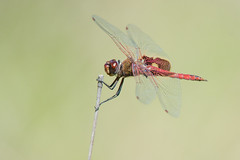Red saddlebags dragonfly (jim_mcculloch) Tags: dsc3582 dragonflies odonata