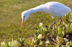 Cattle Egret (Zeta_Ori) Tags: maui hawaii wailea grandwaileahotel grandwailea grandwailearesort nature egret