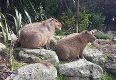 Capybara 170408 (Jacqi B) Tags: animals wellingtonzoo capybara