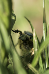 Guggug! (Sky_Guy) Tags: rosenkäfer cetonia aurata cetoniaaurata nikon d5300 nikond5300 makro macro sigma sigma105mm 105mm bokeh green gras garden spring sun sonne frühling cetoniinae scarabaeidae coleoptera insecta insekt insects