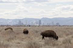 Colorado Bisons (Lucie Maru) Tags: denver town urban bison animals largeanimal buffalo skyline cityskyline colorado spring wildlife mountains landscape coloradomountains grass tallgrass