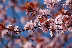 Träumen (♥ ♥ ♥ flickrsprotte♥ ♥ ♥) Tags: blutkirsche träumen april sonne wind regen natur baum blüten flickrsprotte 365tageprojekt 101365