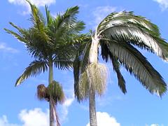 Manila palm: Boron deficiency (Scot Nelson) Tags: manila palm boron b deficiency