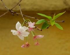 Ne soufflez pas sur moi.. Don't blow on me.. (alainpere407) Tags: alainpere cerisier cherryblossoms spring printemps blossom