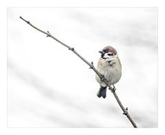 AR170117-B (-AR-) Tags: ringmus passermontanus eurasiantreesparrow vogel bird tak branch garden tuin winter koud cold dier animal natuur nature