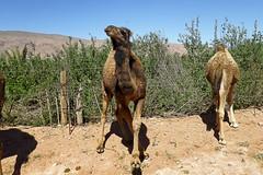 Dromadaires - Boussemghoun ابل - بوسمغون (habib kaki) Tags: algérie algeria elbayadh bayadh الجزائر البيض chameau dromadaire جمل ابل بوسمغون boussemghoun boussemghoune