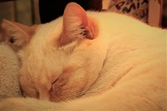 This is Leo (qorp38) Tags: cat light asleep sleepyhead catloafs