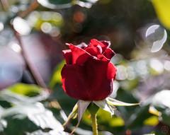 ILCE-6000-07171-20170418-1605-Pano // Carl Zeiss Jena Tessar 50mm 1:2.8 (Otattemita) Tags: 50mmf28 carlzeissjena carlzeissjenatessar50mmf28 florafauna fauna flora flower nature plant wildlife carlzeissjenatessar50mm128 sony sonyilce6000 ilce6000 50mm cnaturalbnatural ota