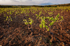 Aprile (Giacomo Gabriele) Tags: wine grapes vineyard terrain sicily marsala plant nature cultivate cultivation planting spring leaves green vine carlzeiss