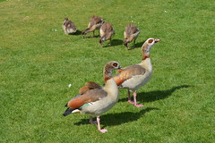 Family Of Four (dhcomet) Tags: kensington gardens london bird egyptian geese goose family brood 4 four gosling