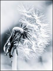 2017-109 What's the Time? (Darren Wilkin) Tags: dandelion macro seeds oneaday 365 cyanotype mono blue