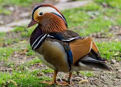 Mandarinente (jan.boettcher) Tags: mandarinente ente vogel duck animal tier park