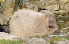 Capybara (RedCat09) Tags: howletts capybara