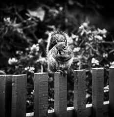 Garden Visitor (Missy Jussy) Tags: animal squirrel greysquirrel mono monochrome blackwhite bw blackandwhite mygarden cottagegarden fence canon canon5dmarkll canon70200mm garden