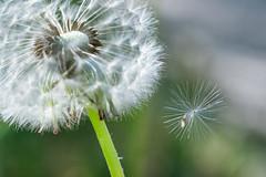 Pissenlit (Elie RIVIERE) Tags: calme douceur emotion fleurs nature nikond500 pissenlits tranquilité