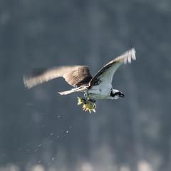 Osprey diving for fish (Adam LaStrange) Tags: bird fingerlakes fish osprey tamron150600150600 nikond7100
