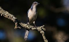 Scrub Jay (SlocumPhotography) Tags: almadenquicksilvercountypark scrubjay bird canon6d canonef aphelocomacalifornica canonef100400mmf4556lisiiusm