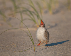 The Heat is On (Kathy Macpherson Baca) Tags: animal animals bird birds aves feathers tern common beach chick nest shore ocean bay earth wildlife cute longisland hot nesting dunes world fly fish baby fuzzy