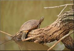turtle's rest (mhobl) Tags: schildkröte bach turtle diamantvert maroc