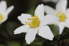 Wood anemone - Anemone nemorosa (Björn S...) Tags: buschwindröschen anemonenemorosa woodanemone windflower thimbleweed smellfox anémonesylvie anémonedesbois sylvie anemonedeiboschi anémonadebosque flordelviento olordezorro haard