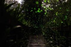 firfly5 (zhes61036103) Tags: 森林 螢火蟲 散景 步道 棧道 延伸 firefly
