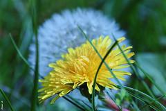 Pissenlit - Dandelion (baladeson) Tags: nature macro pissenlit fleur feuille couleur flower fleurs lumière leave vert soleil pétale jaune petals pétales petal garden flowers dandelion